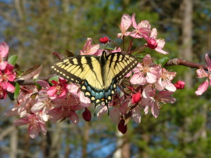 Swallow tail on Apple blossom sprig 2
