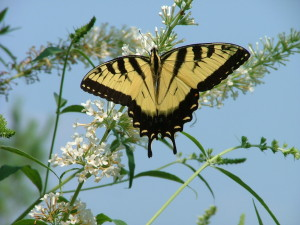 Swallowtail on white budelia
